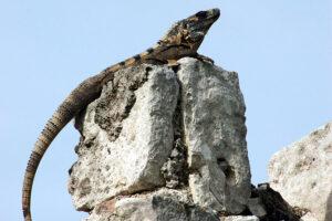 Iguana in Palenque
