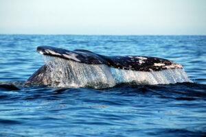 baja california whale watching