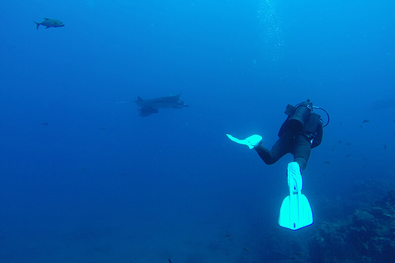 diving with manta ray sea of cortez