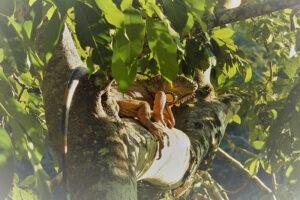 lguana queen of jungle